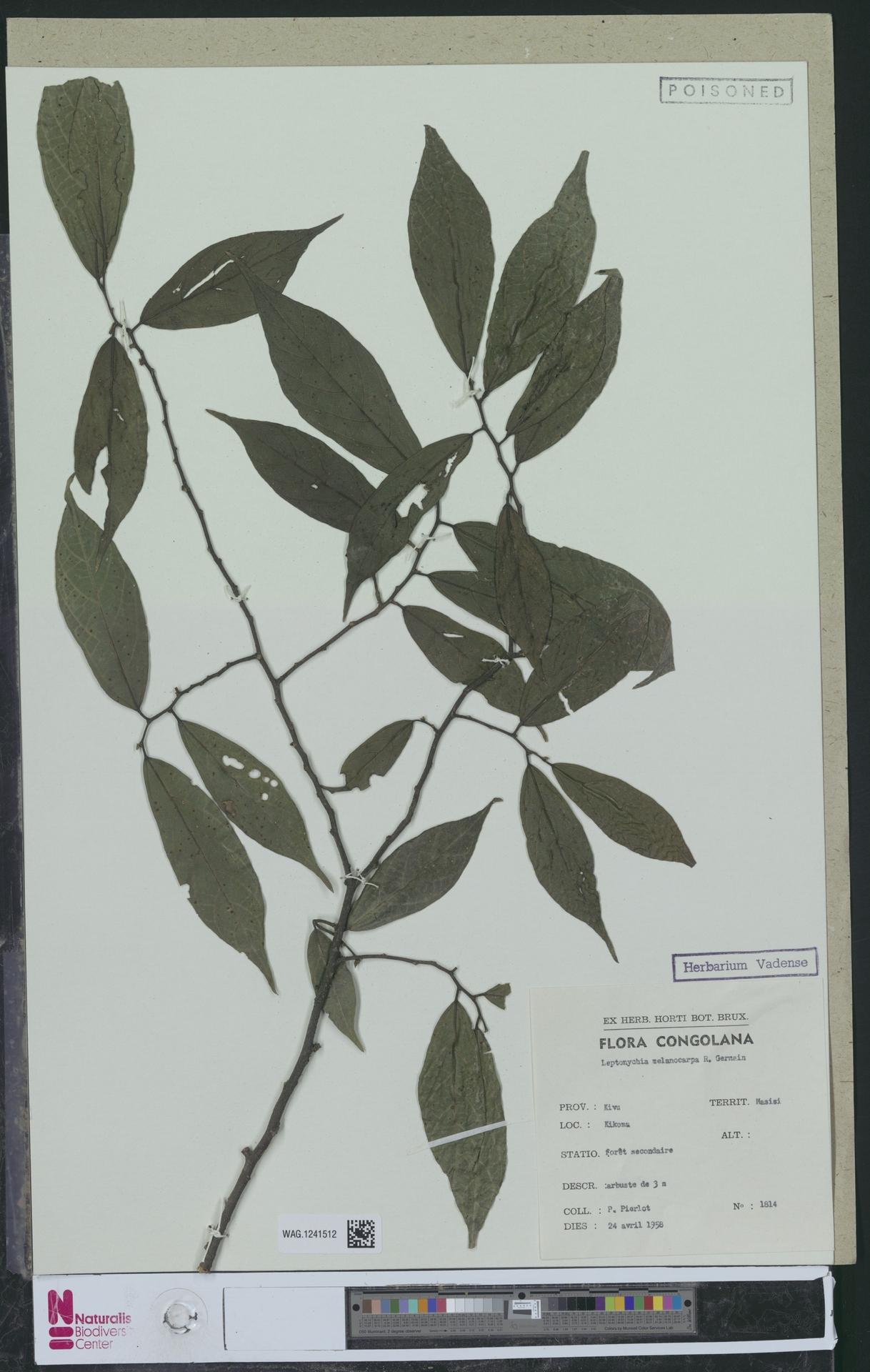 WAG.1241512 | Leptonychia melanocarpa R.Germ.