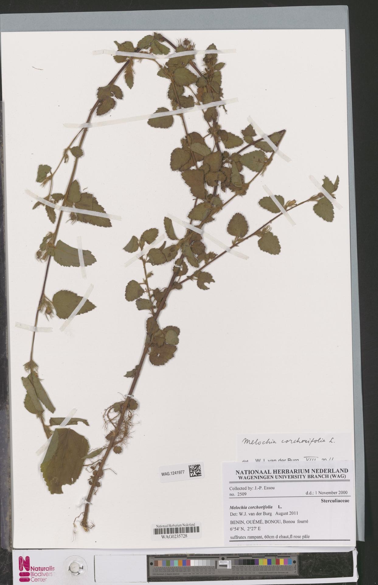 WAG.1241977   Melochia corchorifolia L.