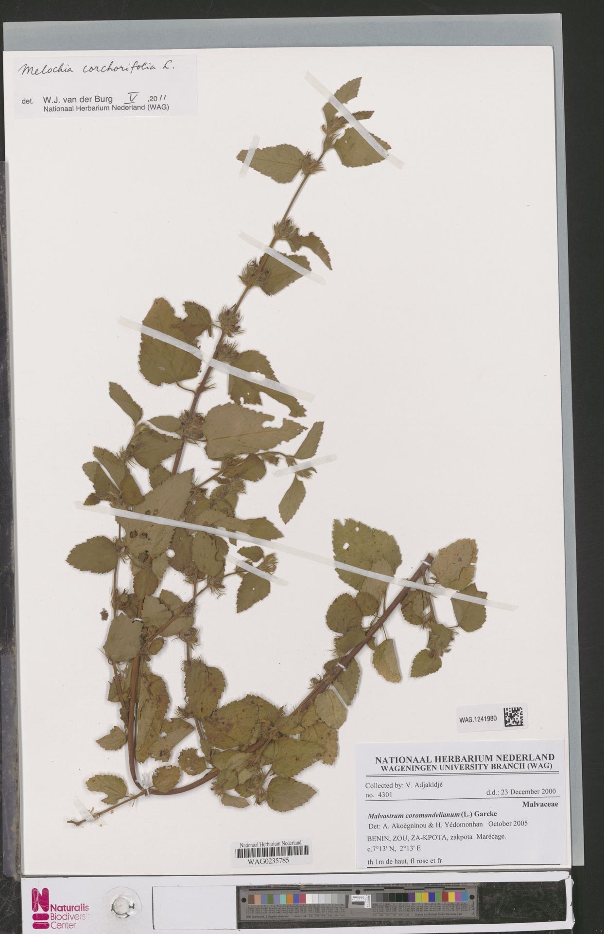 WAG.1241980 | Melochia corchorifolia L.