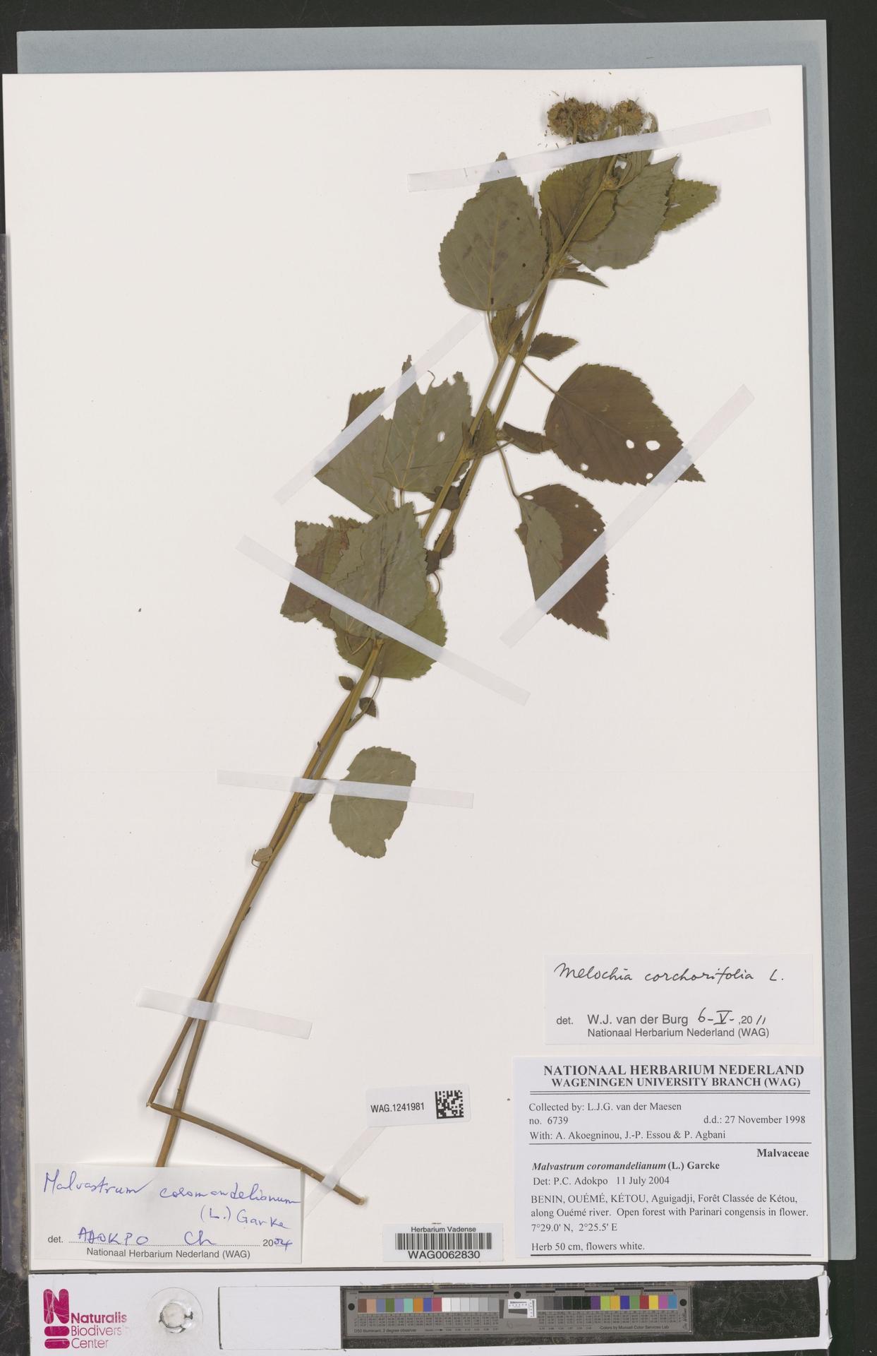 WAG.1241981 | Melochia corchorifolia L.