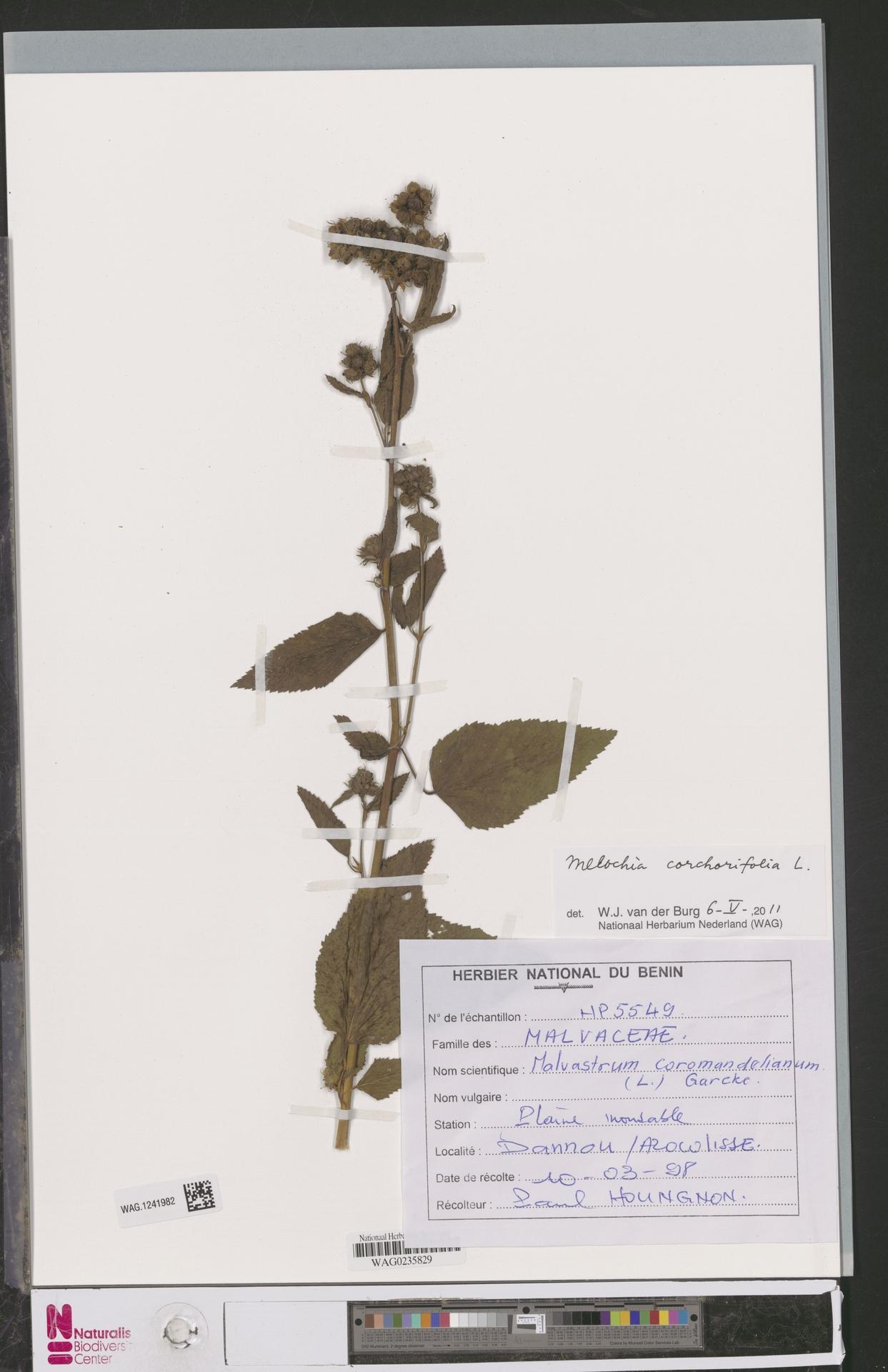 WAG.1241982   Melochia corchorifolia L.