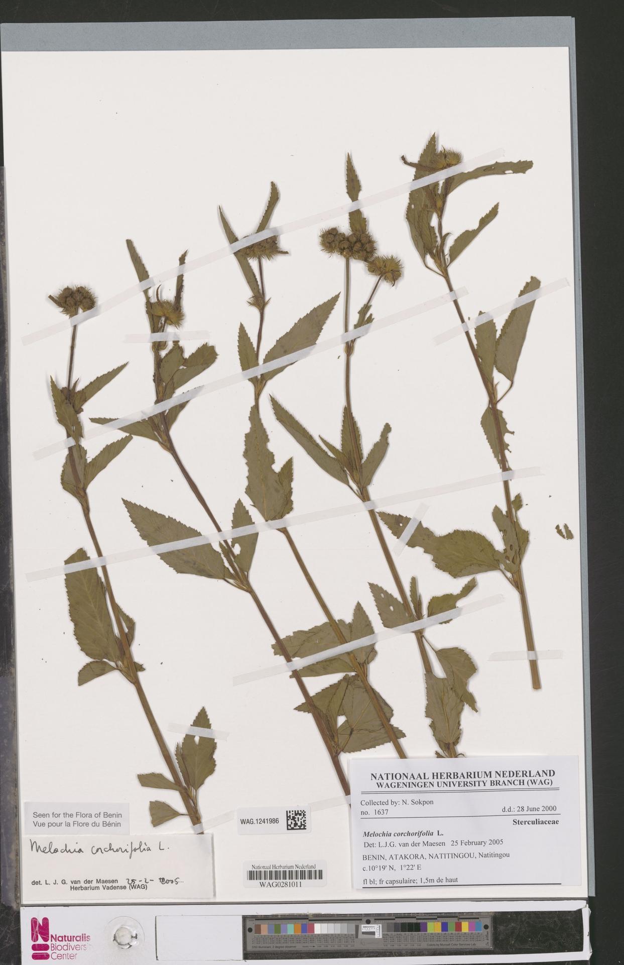 WAG.1241986 | Melochia corchorifolia L.