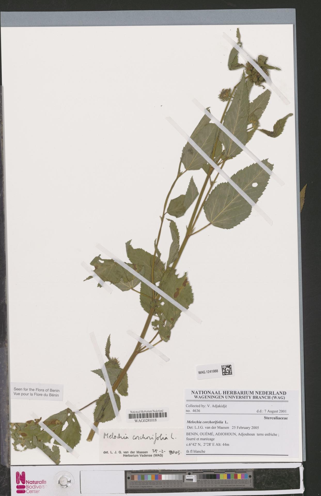 WAG.1241988 | Melochia corchorifolia L.