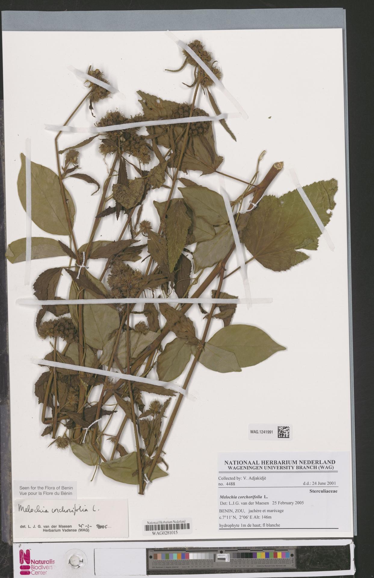 WAG.1241991 | Melochia corchorifolia L.