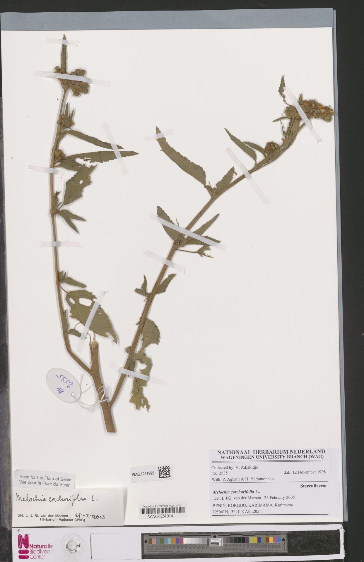 WAG.1241992 | Melochia corchorifolia L.