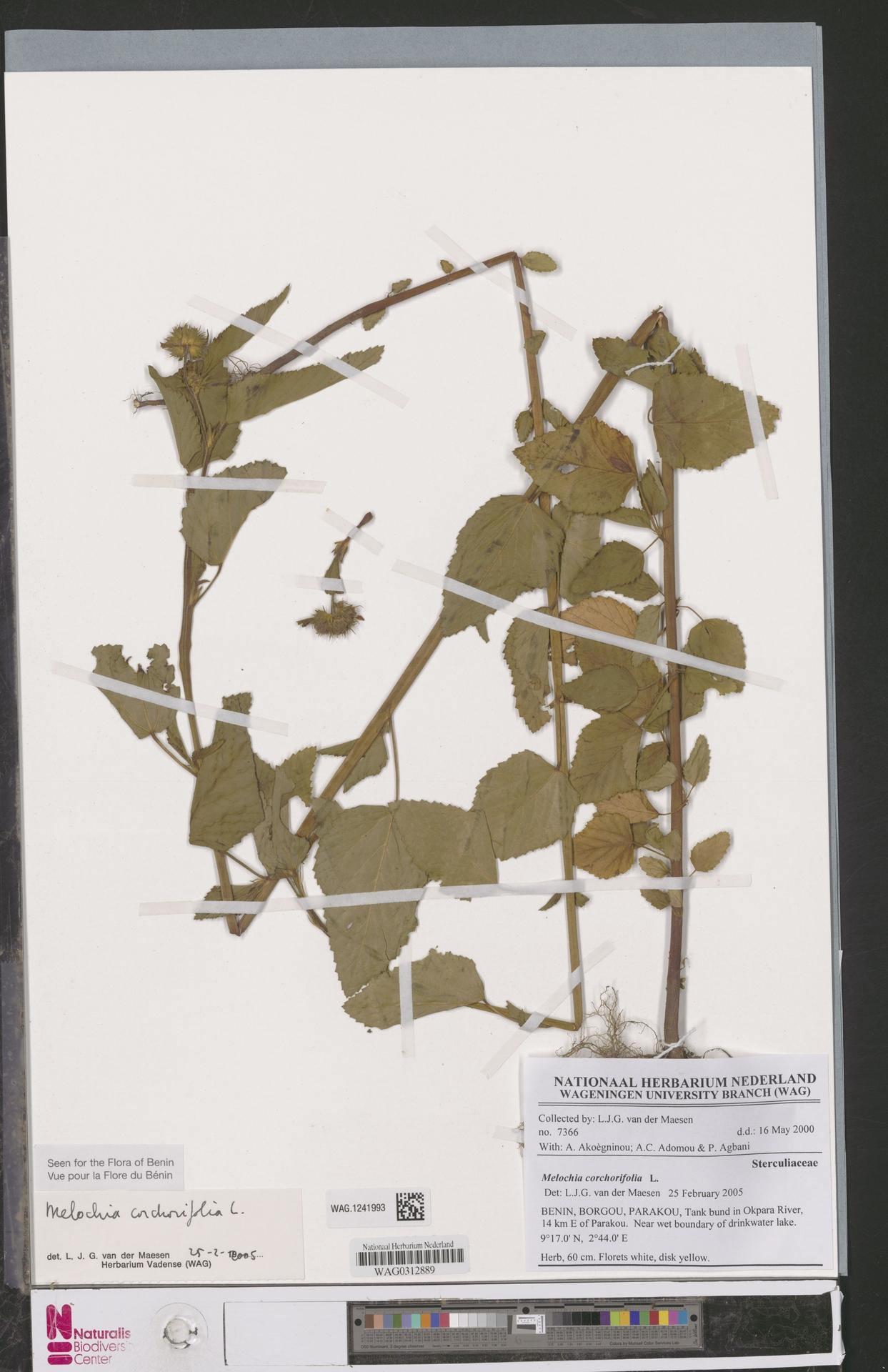 WAG.1241993 | Melochia corchorifolia L.