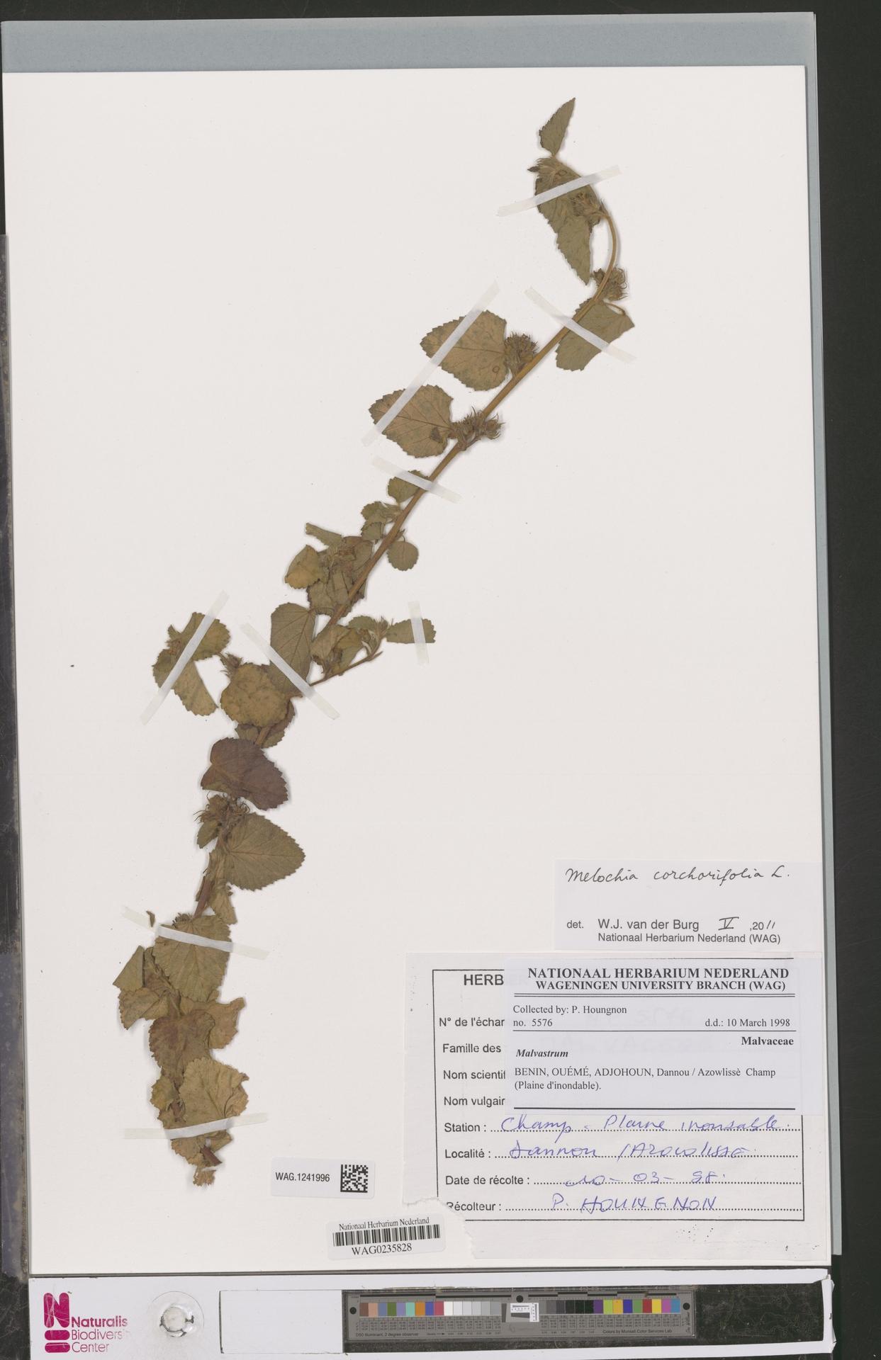 WAG.1241996   Melochia corchorifolia L.