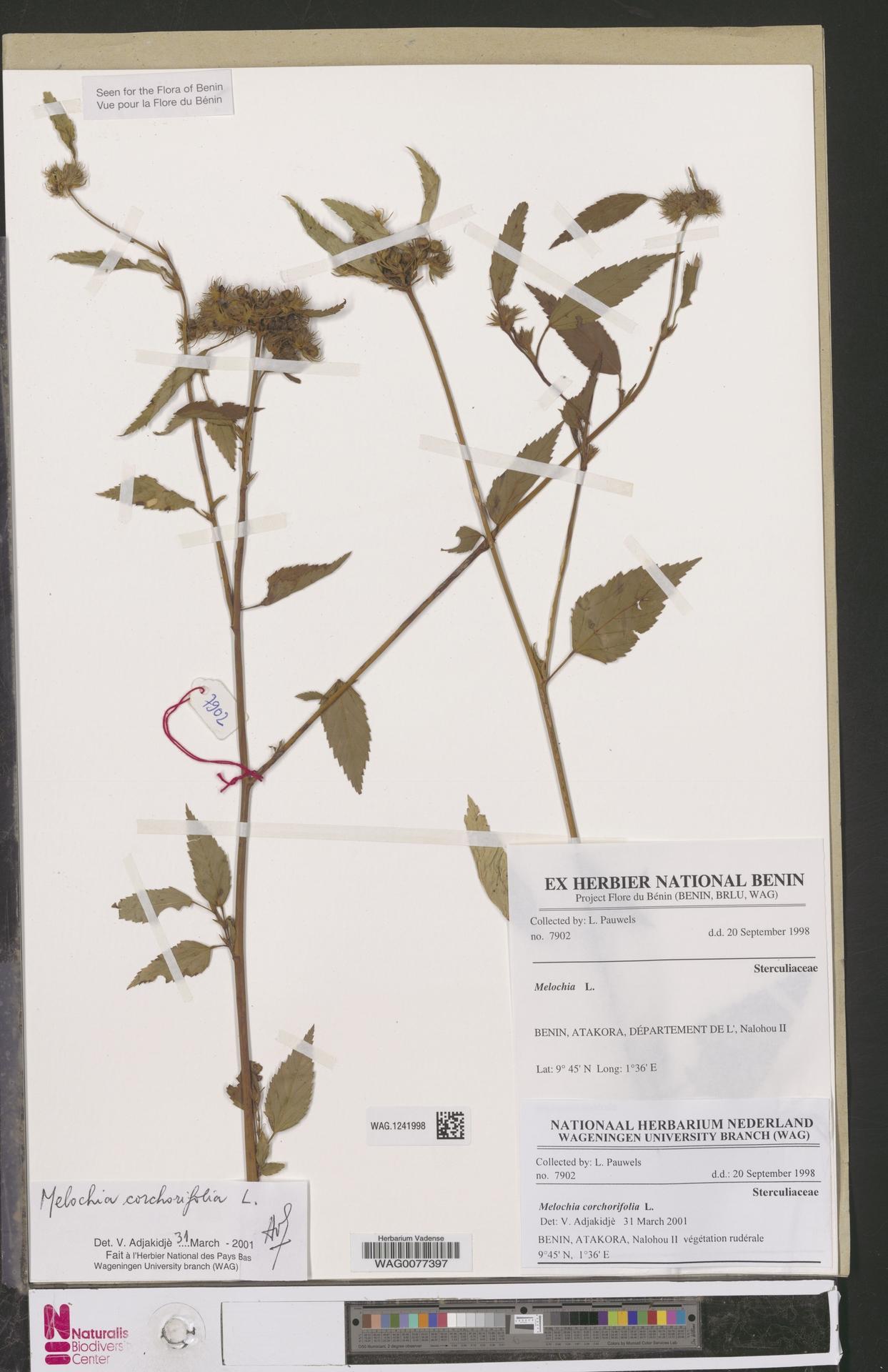 WAG.1241998   Melochia corchorifolia L.