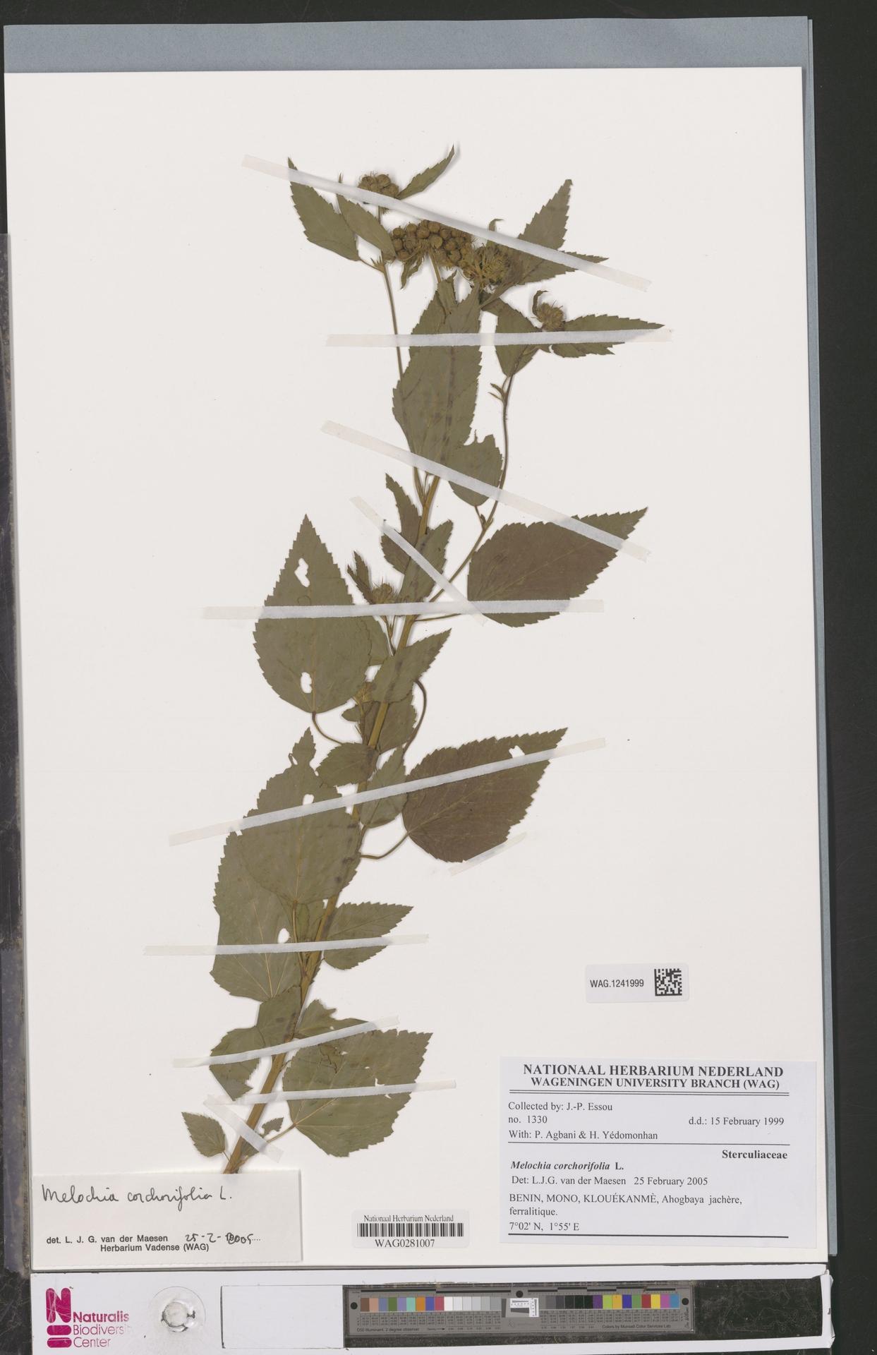WAG.1241999 | Melochia corchorifolia L.