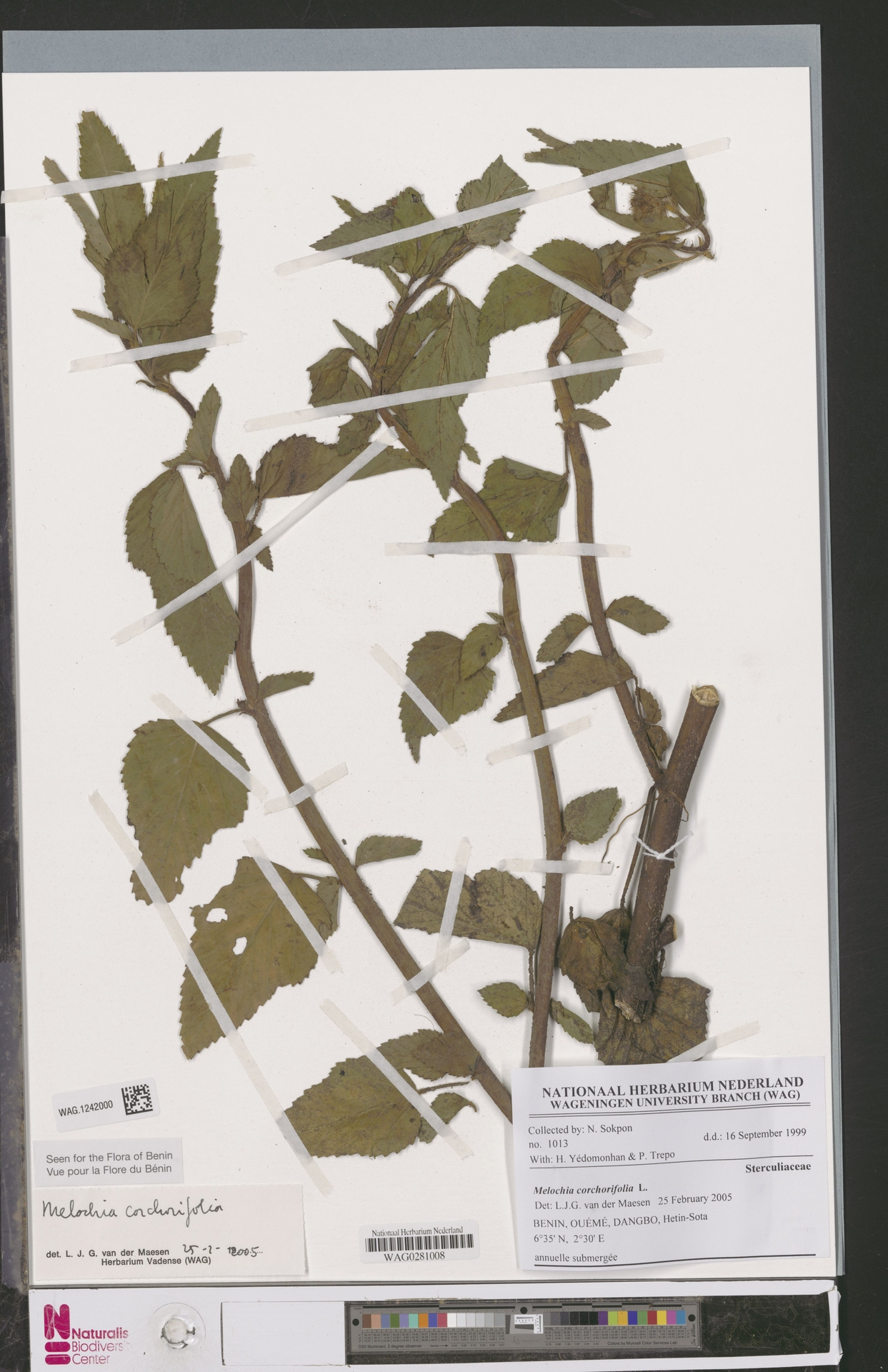 WAG.1242000 | Melochia corchorifolia L.