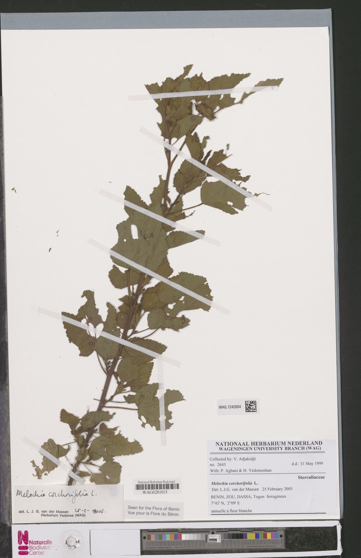 WAG.1242004 | Melochia corchorifolia L.