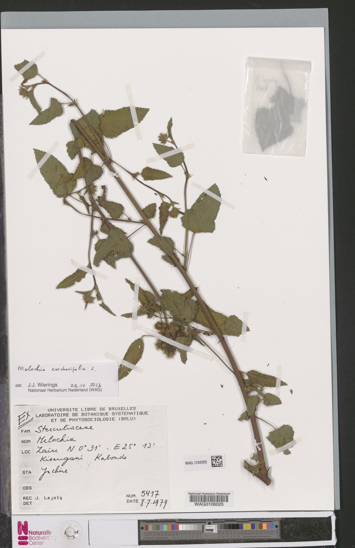 WAG.1242005   Melochia corchorifolia L.