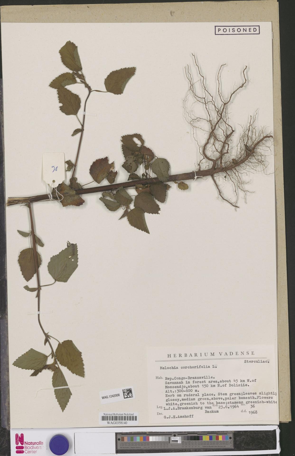 WAG.1242006 | Melochia corchorifolia L.