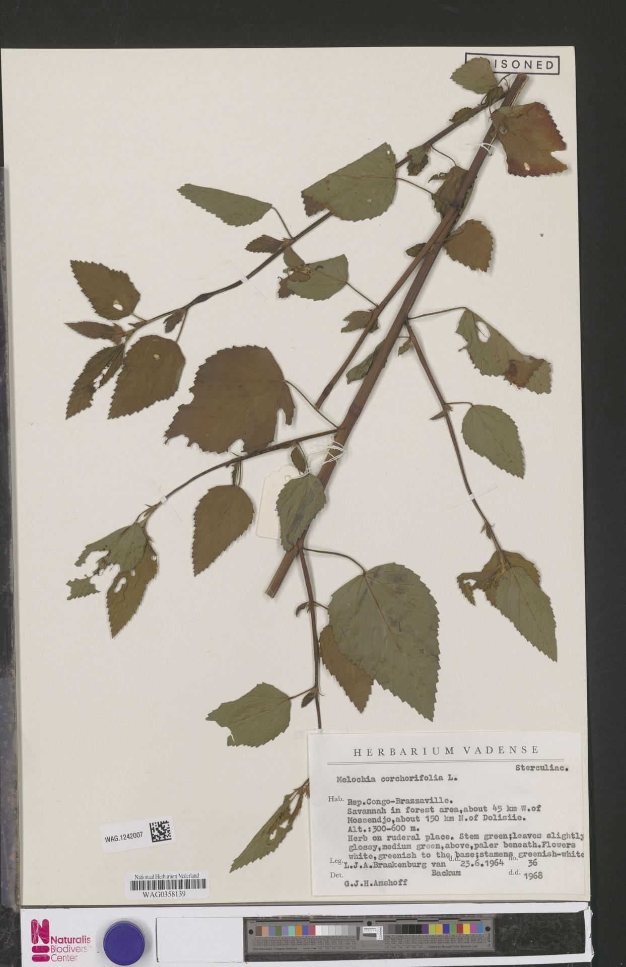 WAG.1242007 | Melochia corchorifolia L.