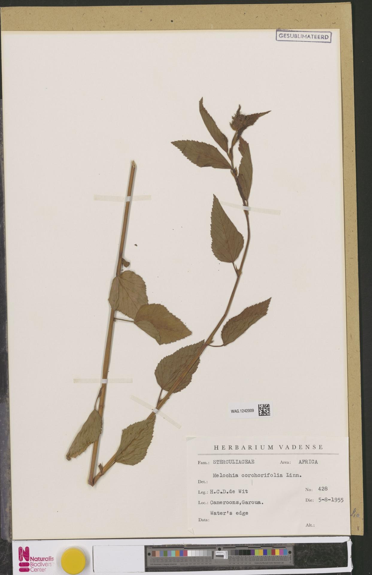 WAG.1242009 | Melochia corchorifolia L.