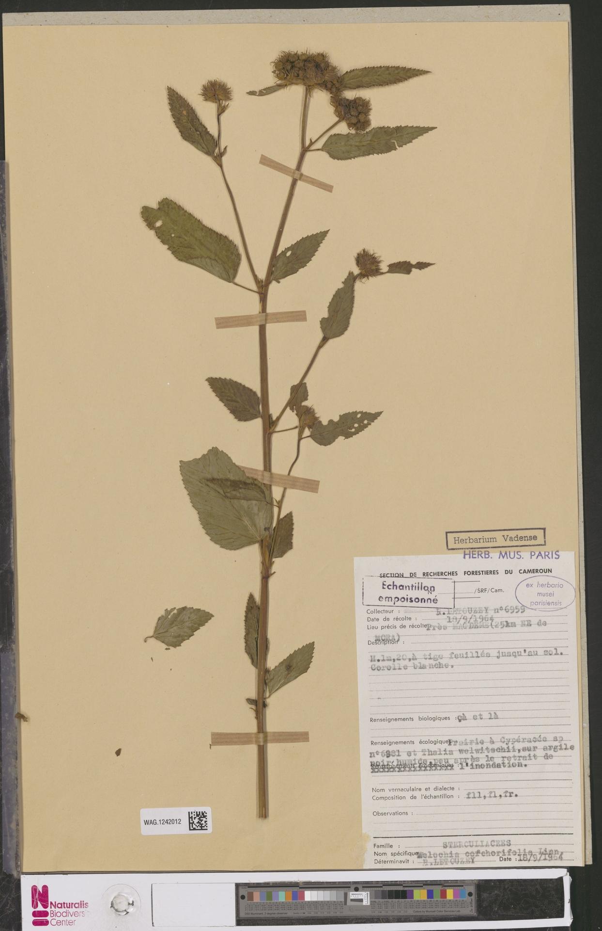 WAG.1242012 | Melochia corchorifolia L.