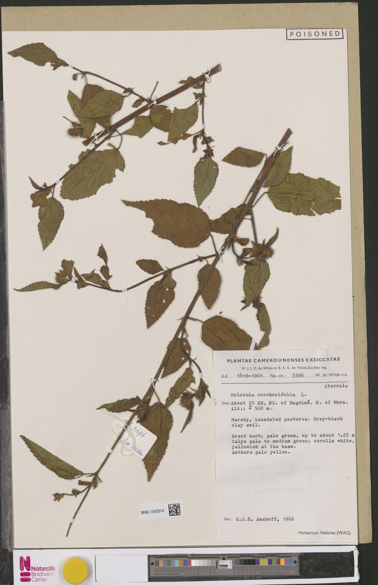 WAG.1242014   Melochia corchorifolia L.