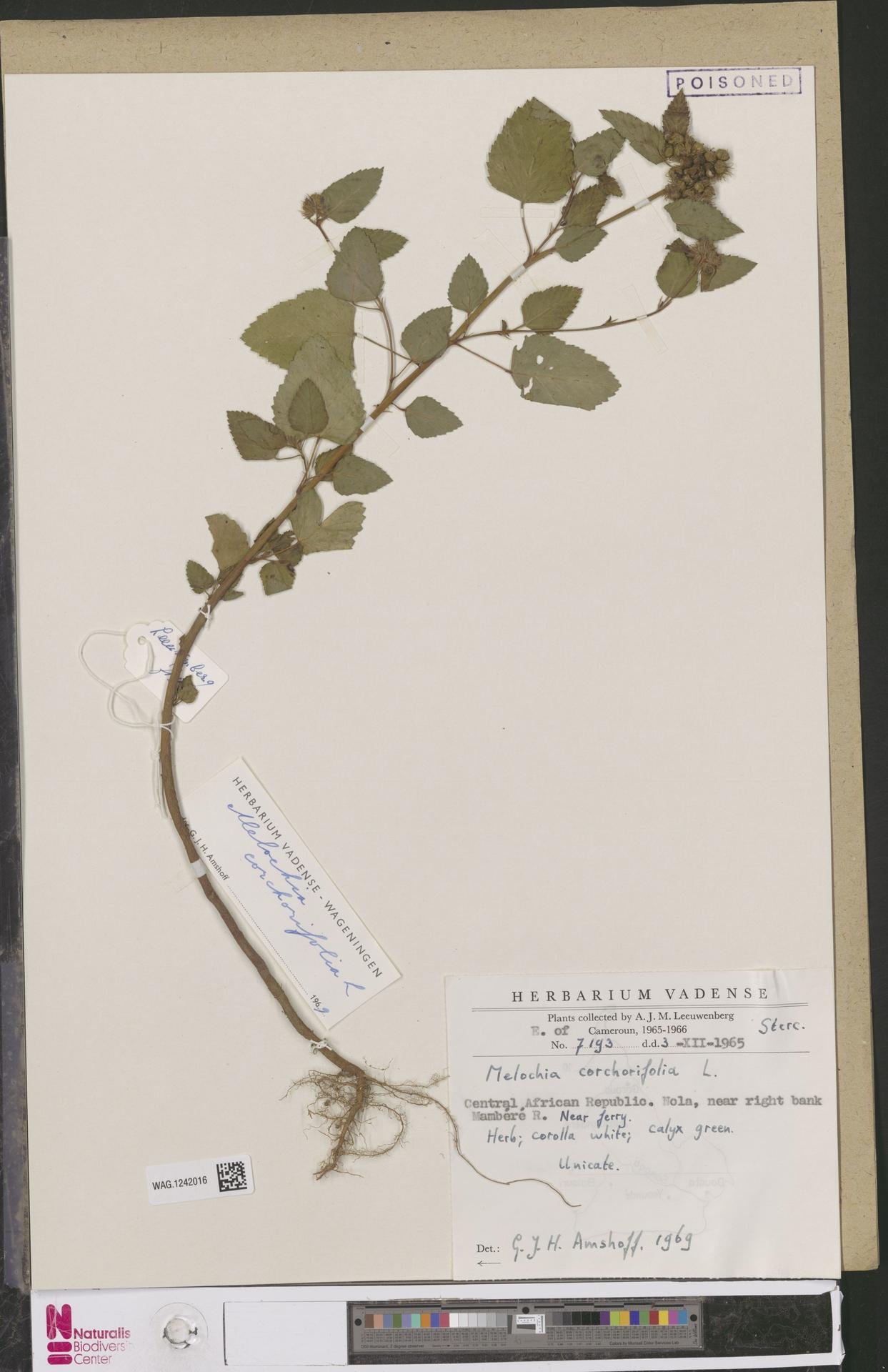 WAG.1242016 | Melochia corchorifolia L.