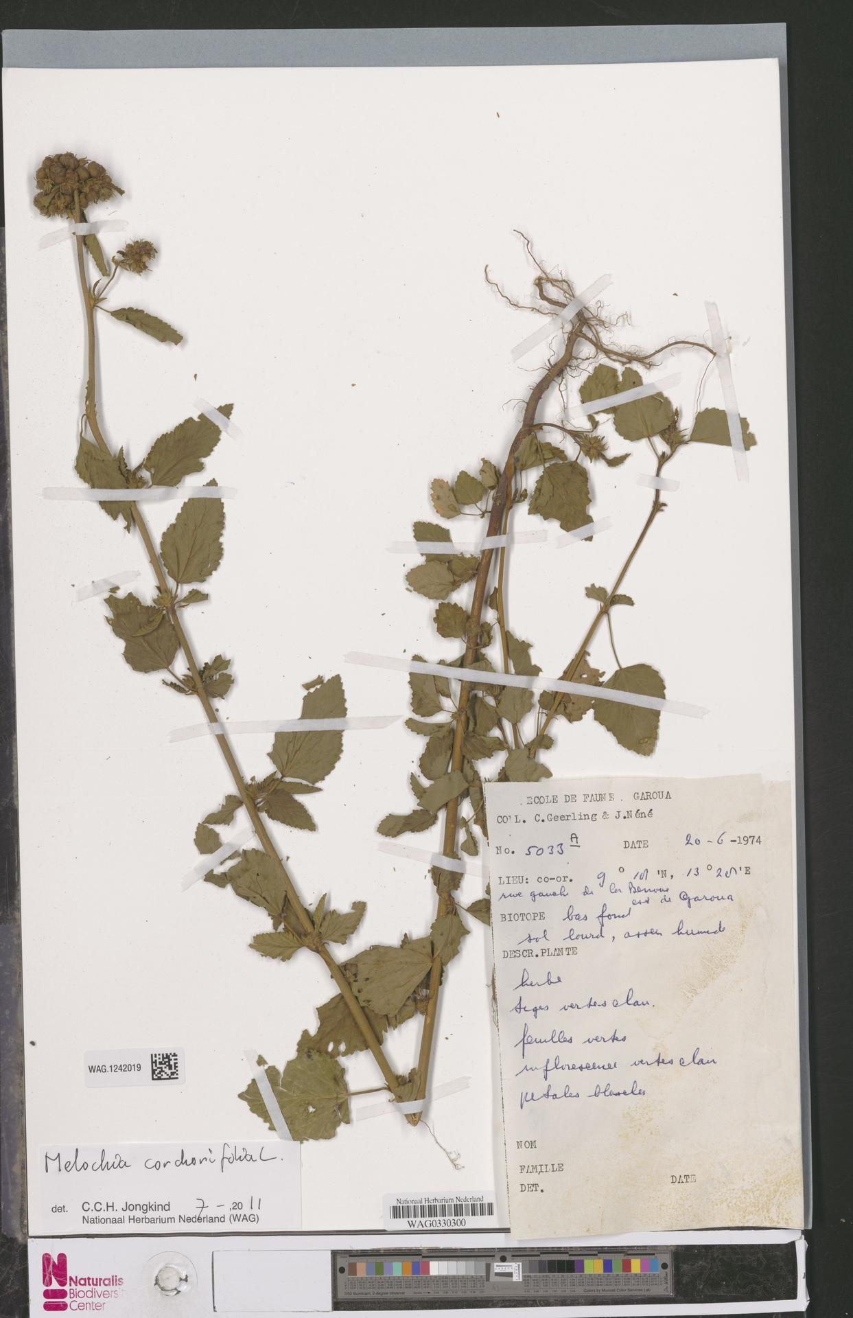 WAG.1242019 | Melochia corchorifolia L.