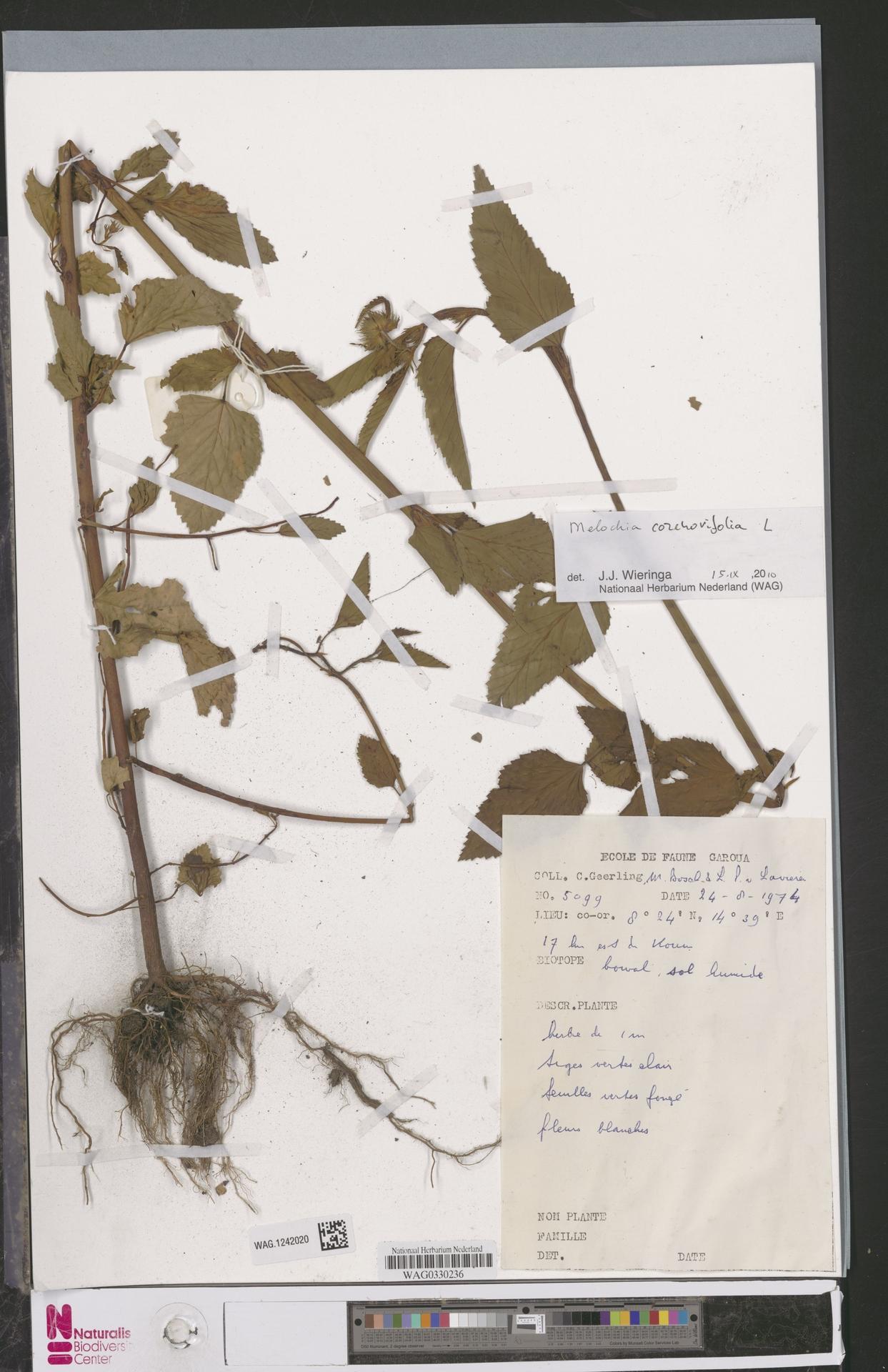 WAG.1242020 | Melochia corchorifolia L.