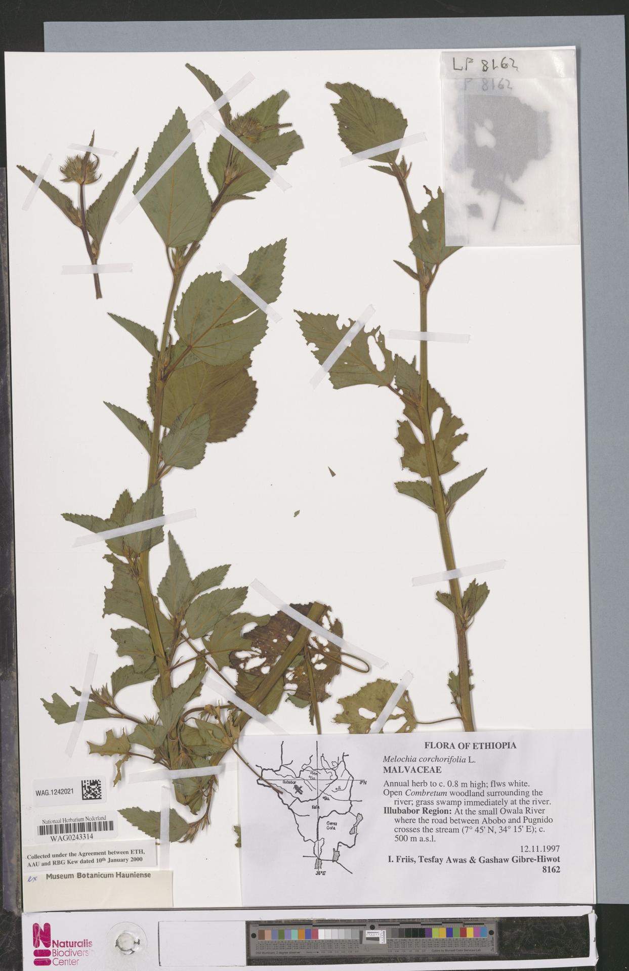 WAG.1242021 | Melochia corchorifolia L.