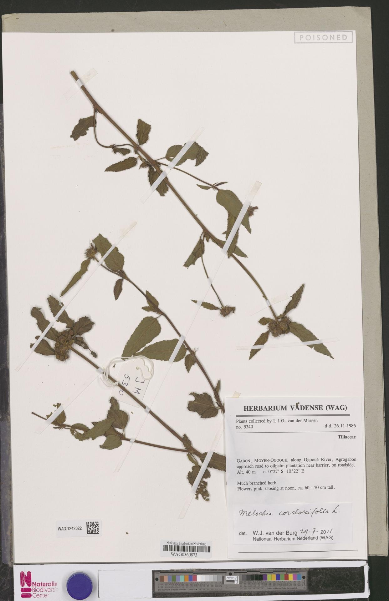 WAG.1242022 | Melochia corchorifolia L.