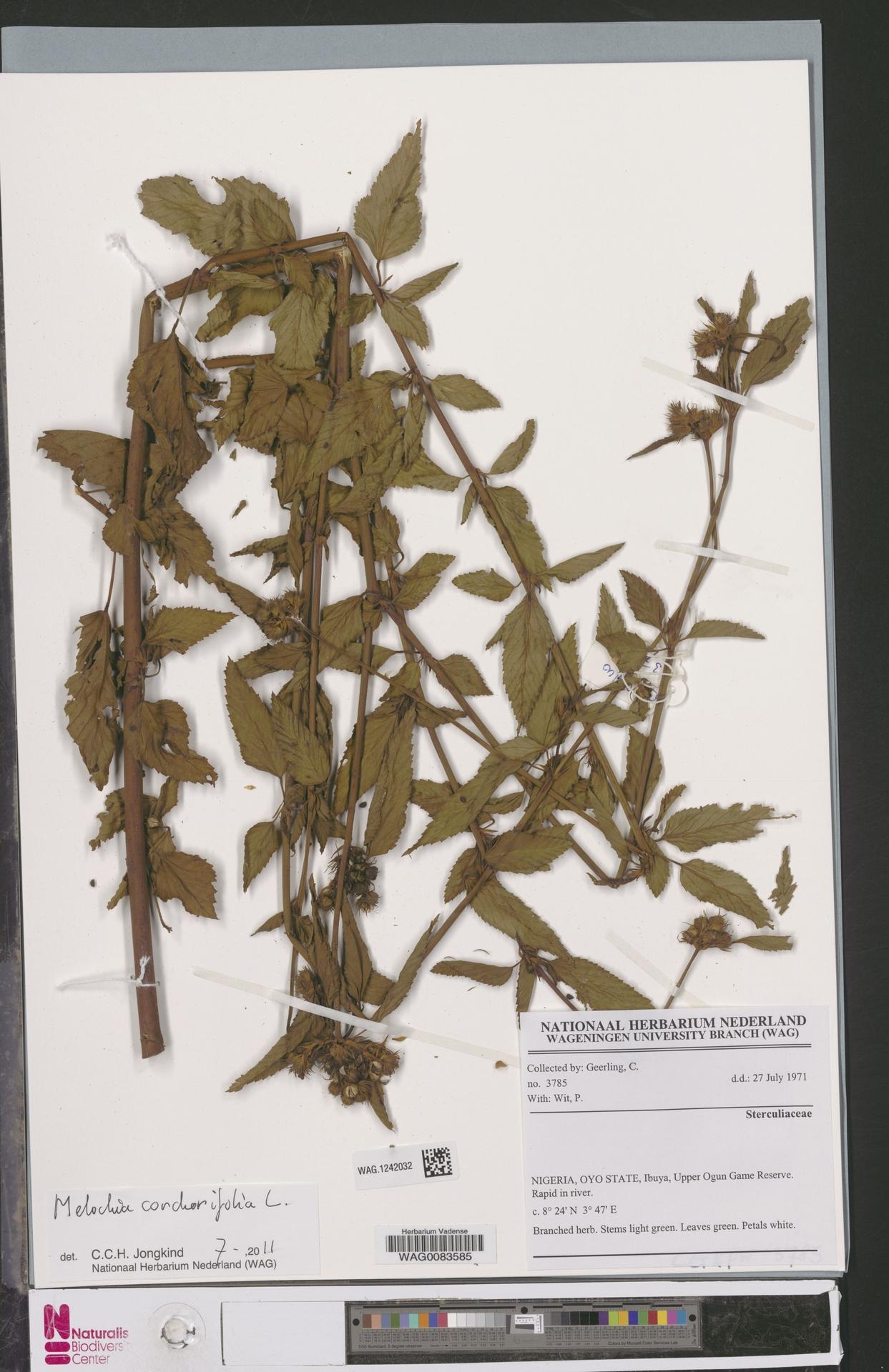 WAG.1242032 | Melochia corchorifolia L.