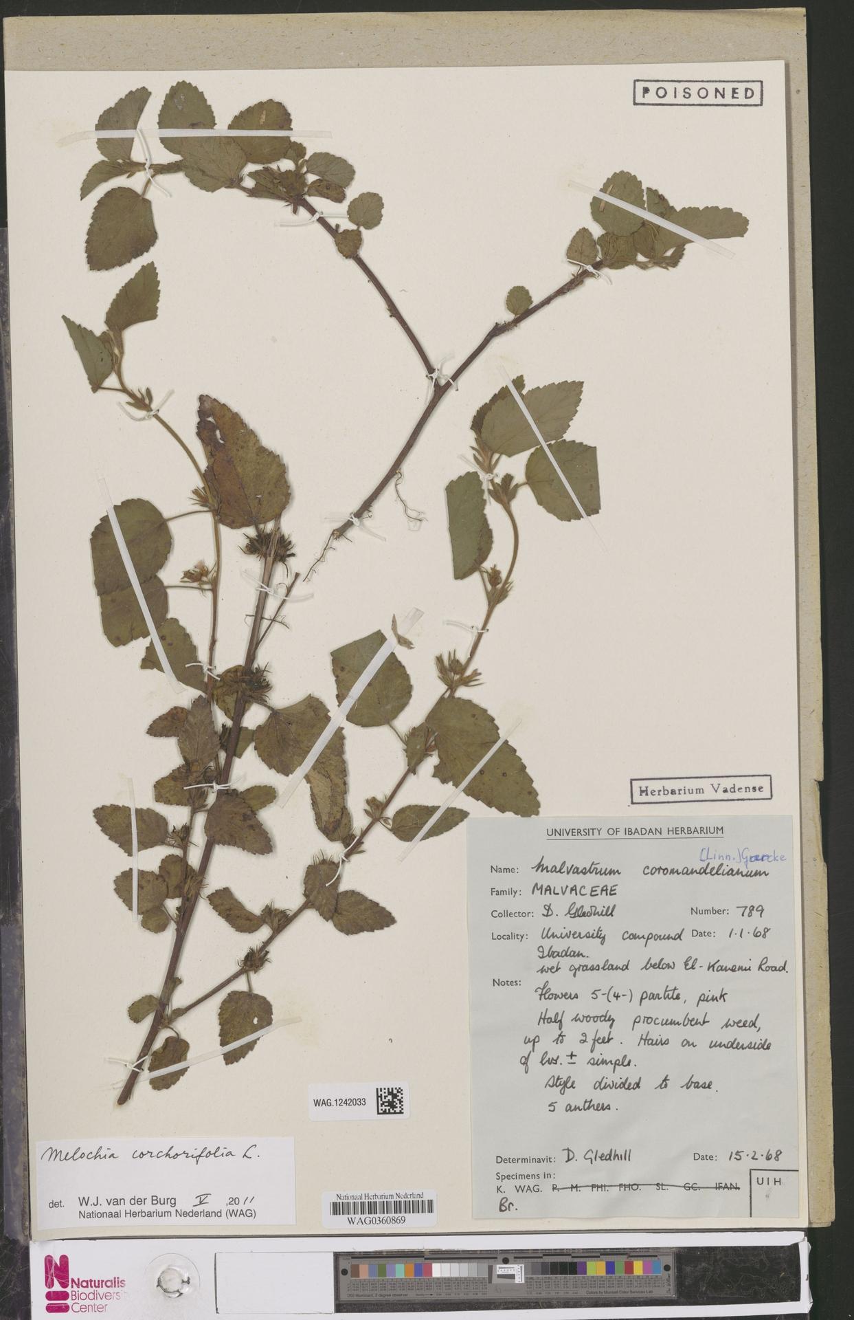 WAG.1242033 | Melochia corchorifolia L.