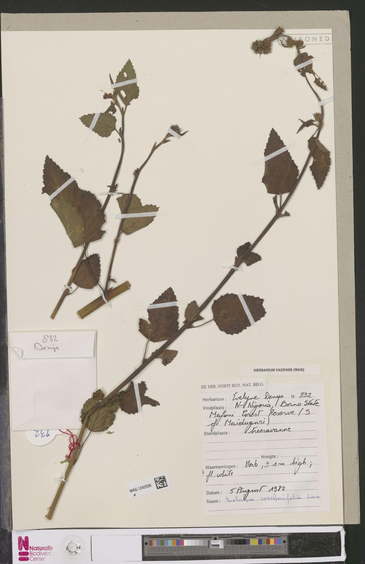 WAG.1242036   Melochia corchorifolia L.