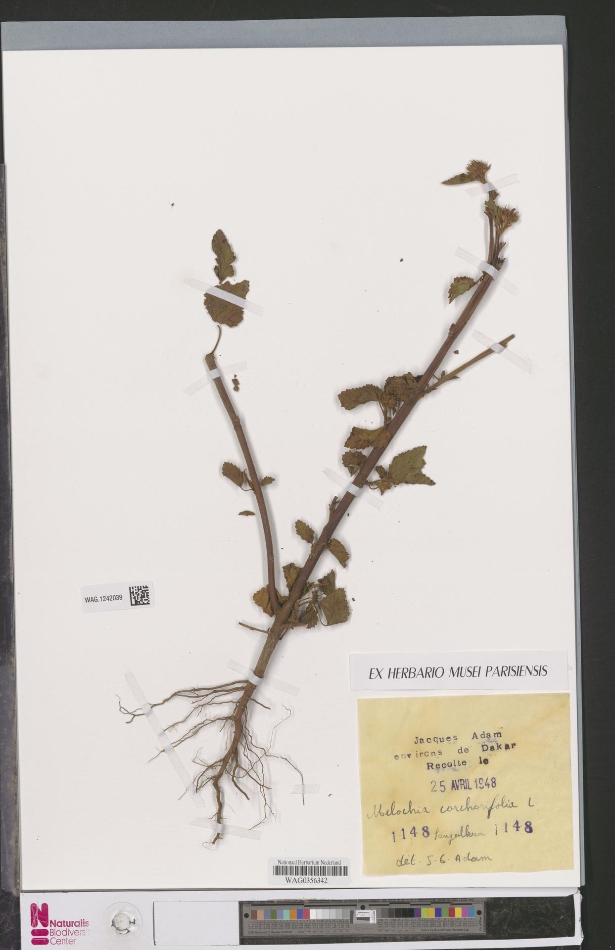 WAG.1242039 | Melochia corchorifolia L.