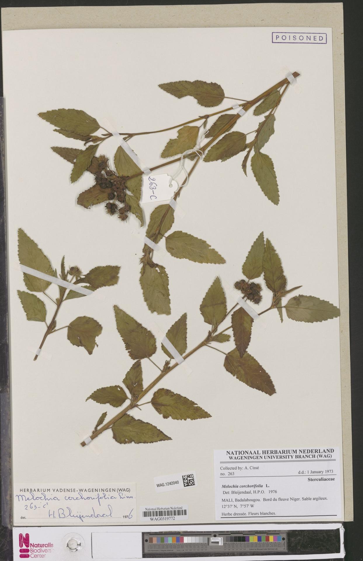 WAG.1242040 | Melochia corchorifolia L.