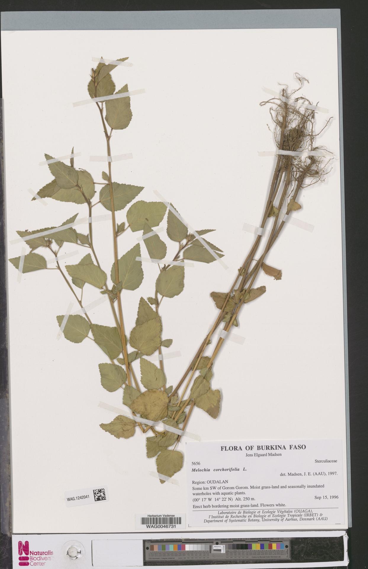 WAG.1242041 | Melochia corchorifolia L.
