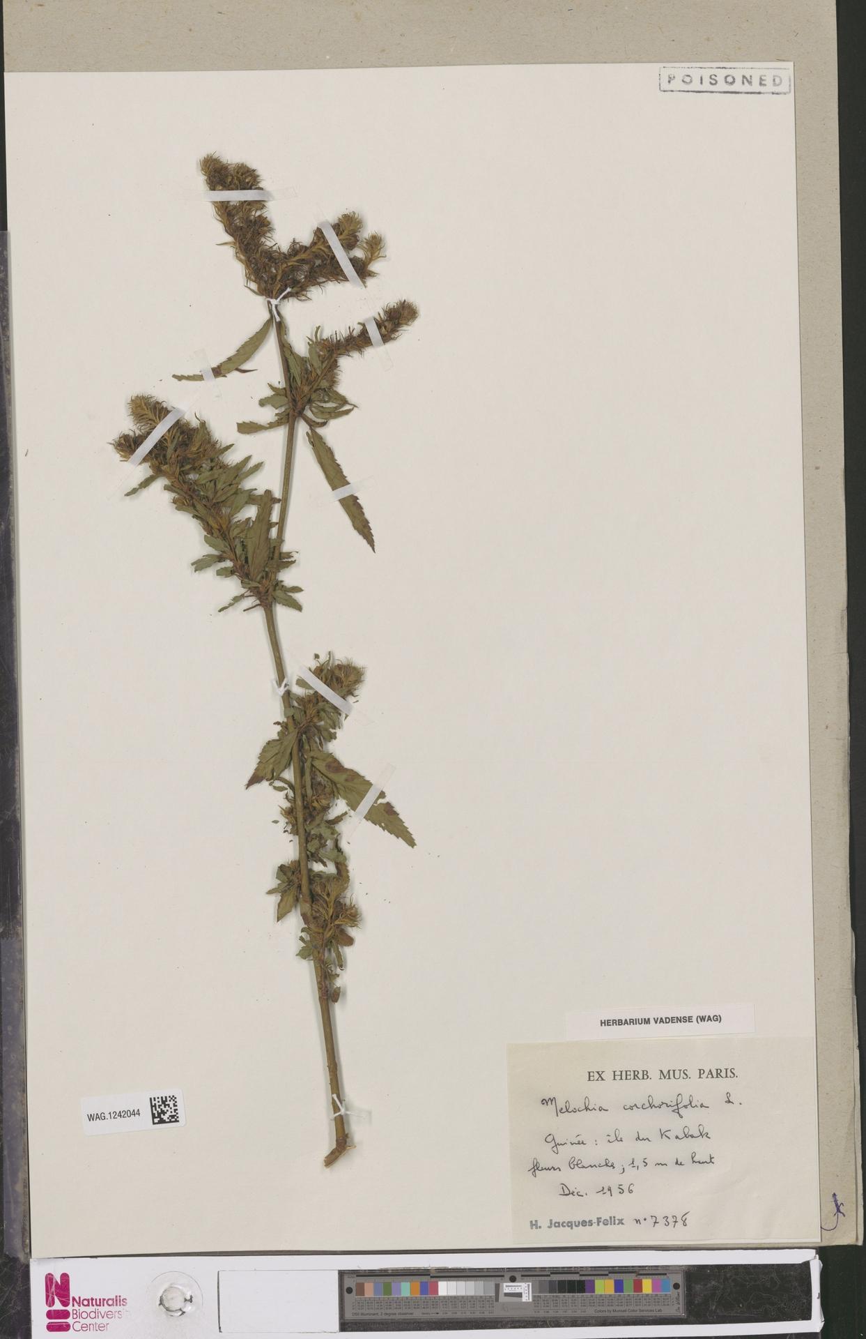 WAG.1242044   Melochia corchorifolia L.