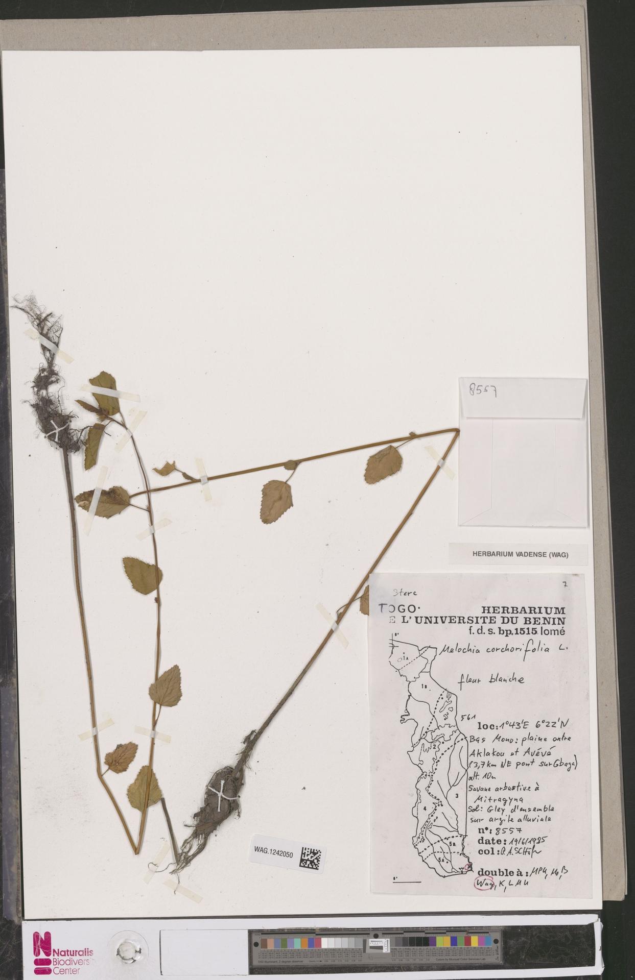 WAG.1242050 | Melochia corchorifolia L.