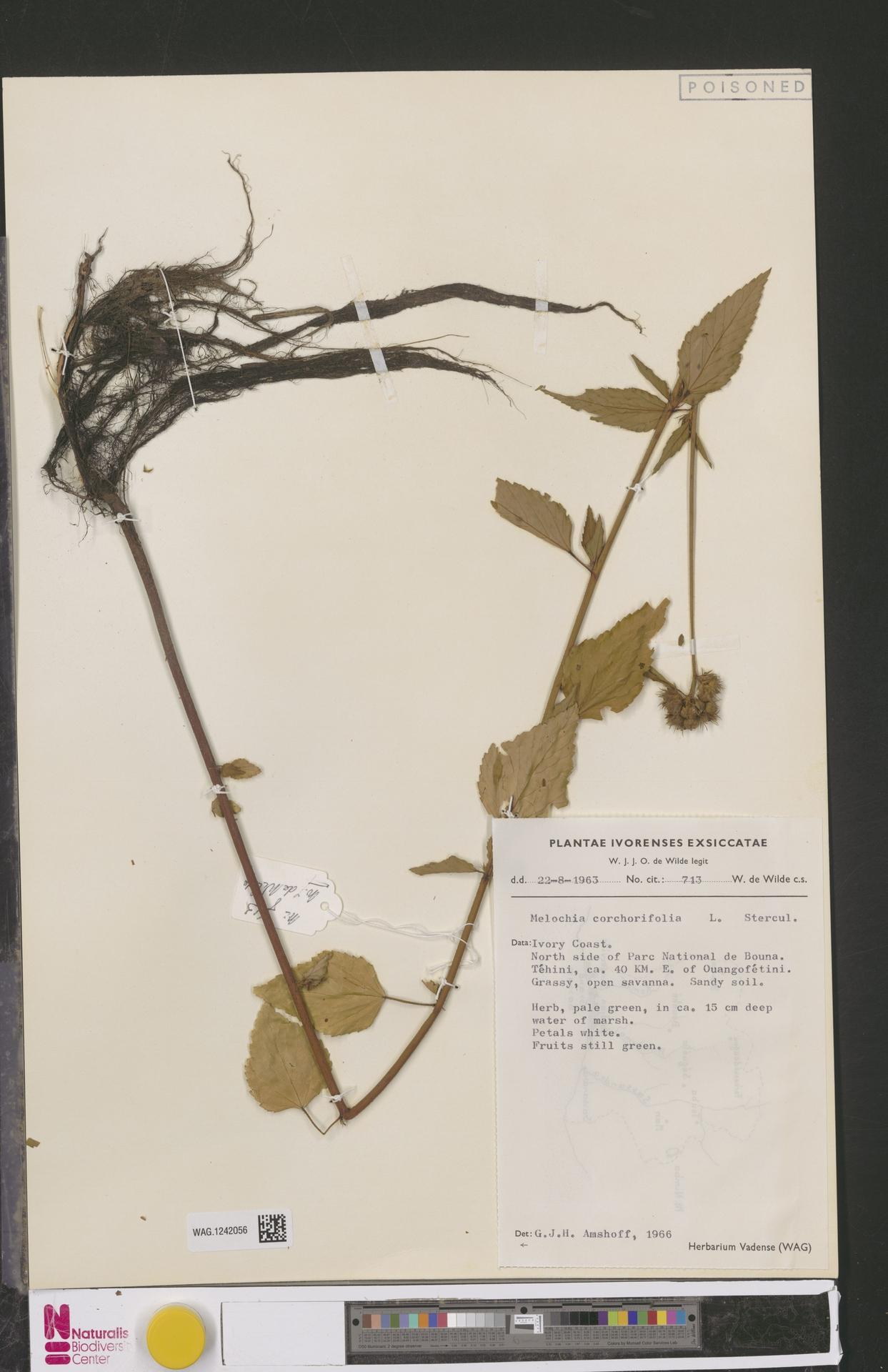 WAG.1242056 | Melochia corchorifolia L.