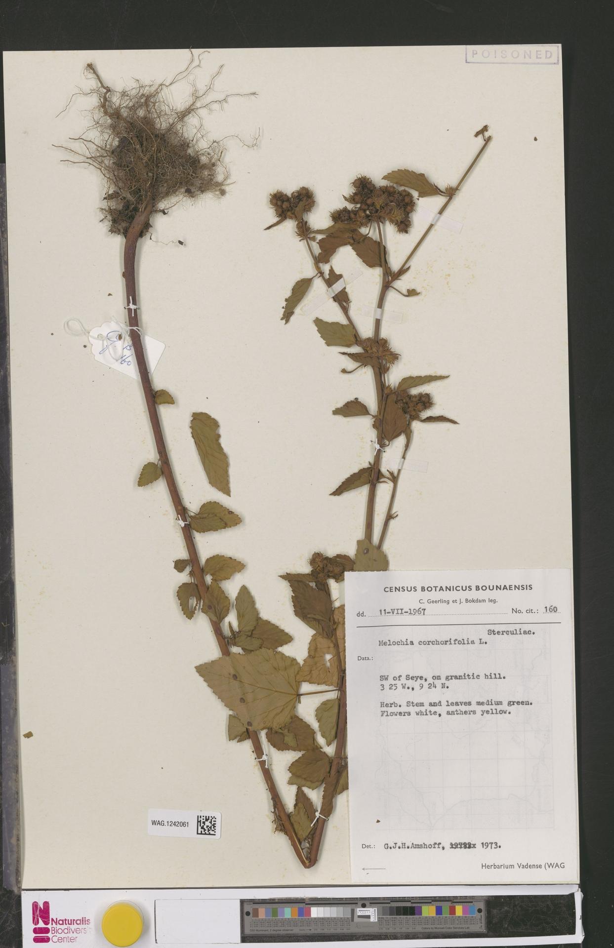 WAG.1242061   Melochia corchorifolia L.