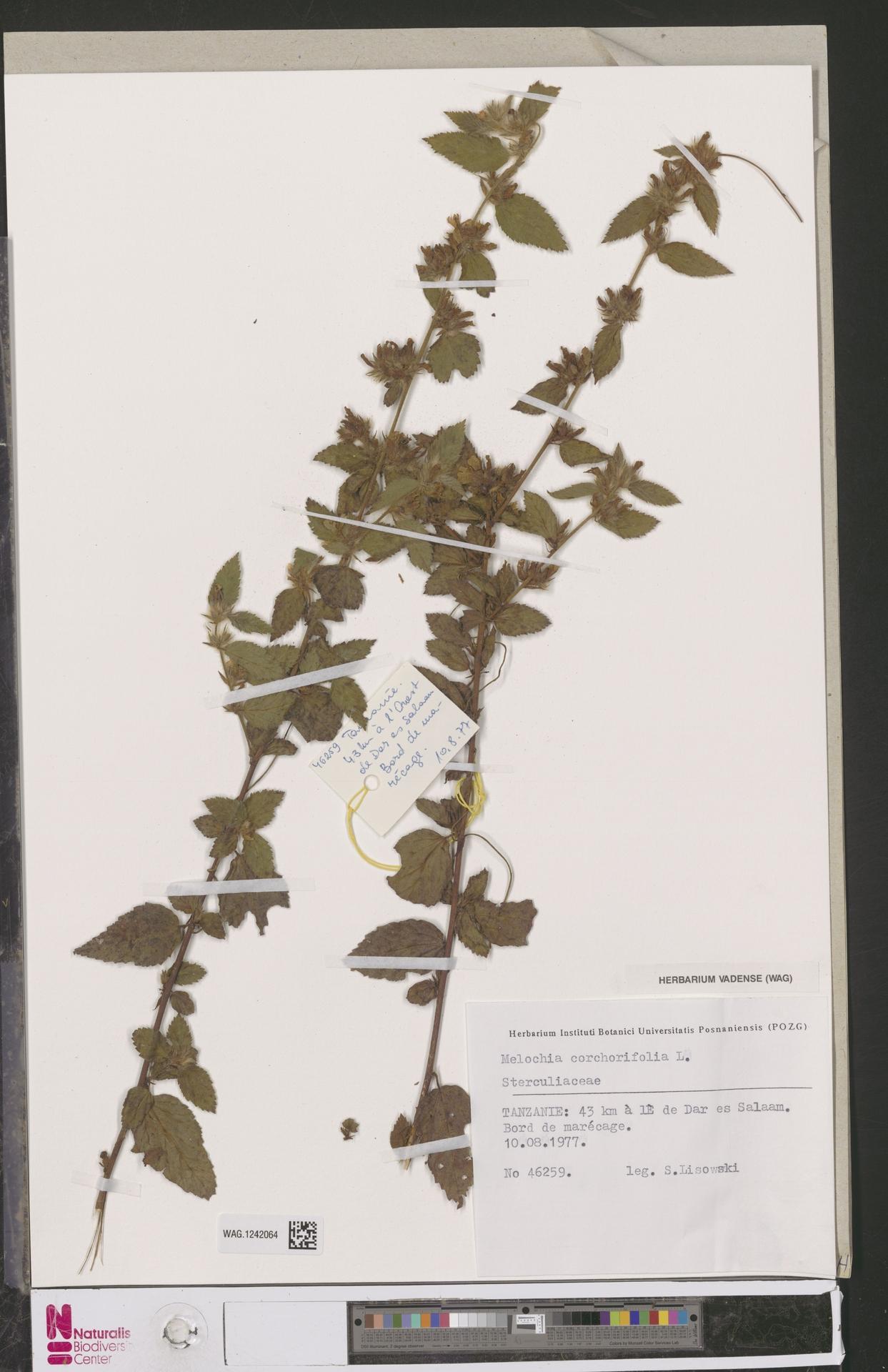 WAG.1242064 | Melochia corchorifolia L.