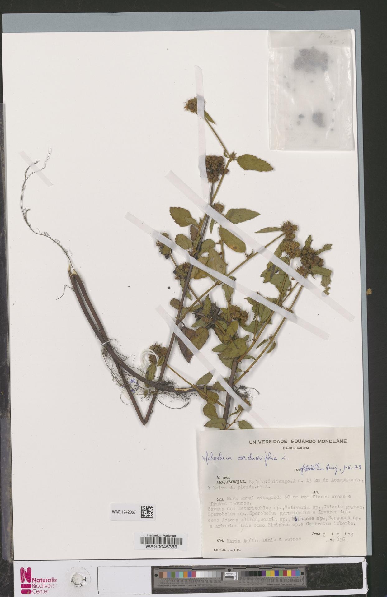 WAG.1242067 | Melochia corchorifolia L.