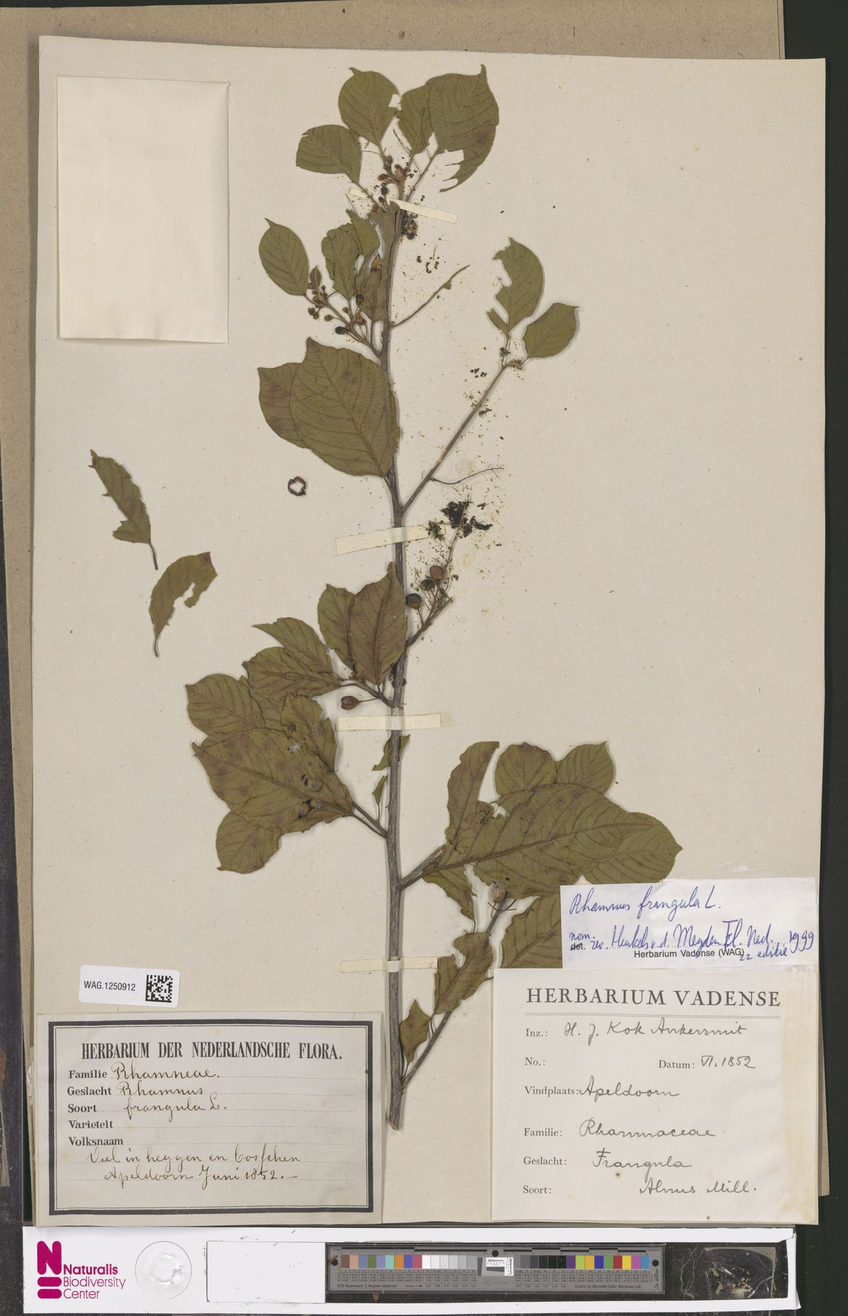 WAG.1250912 | Rhamnus frangula L.