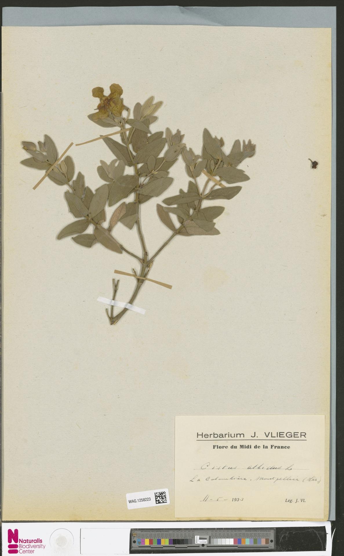 WAG.1258223 | Cistus albidus L.