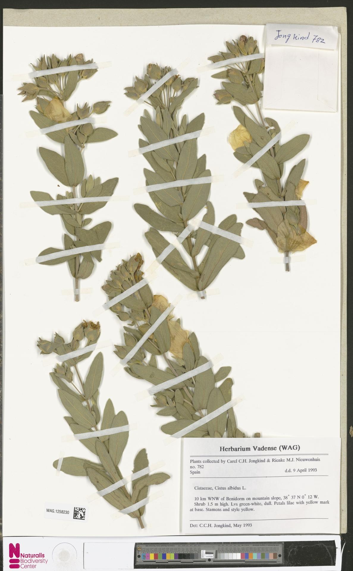 WAG.1258230   Cistus albidus L.