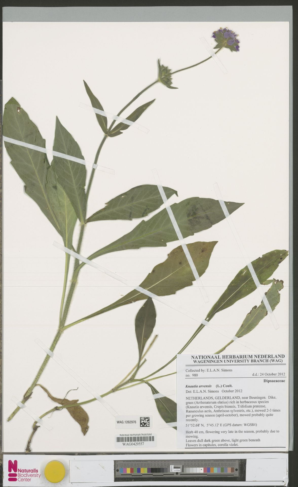 WAG.1262976   Knautia arvensis (L.) Coult.