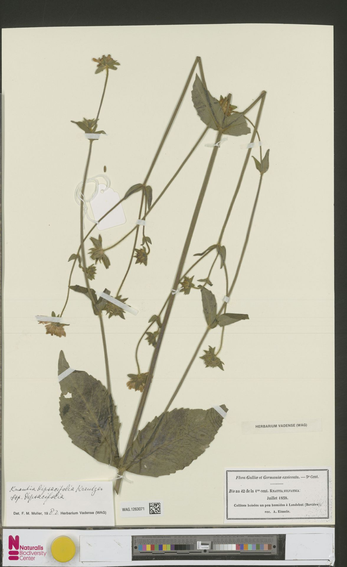 WAG.1263071 | Knautia arvensis (L.) Coult.