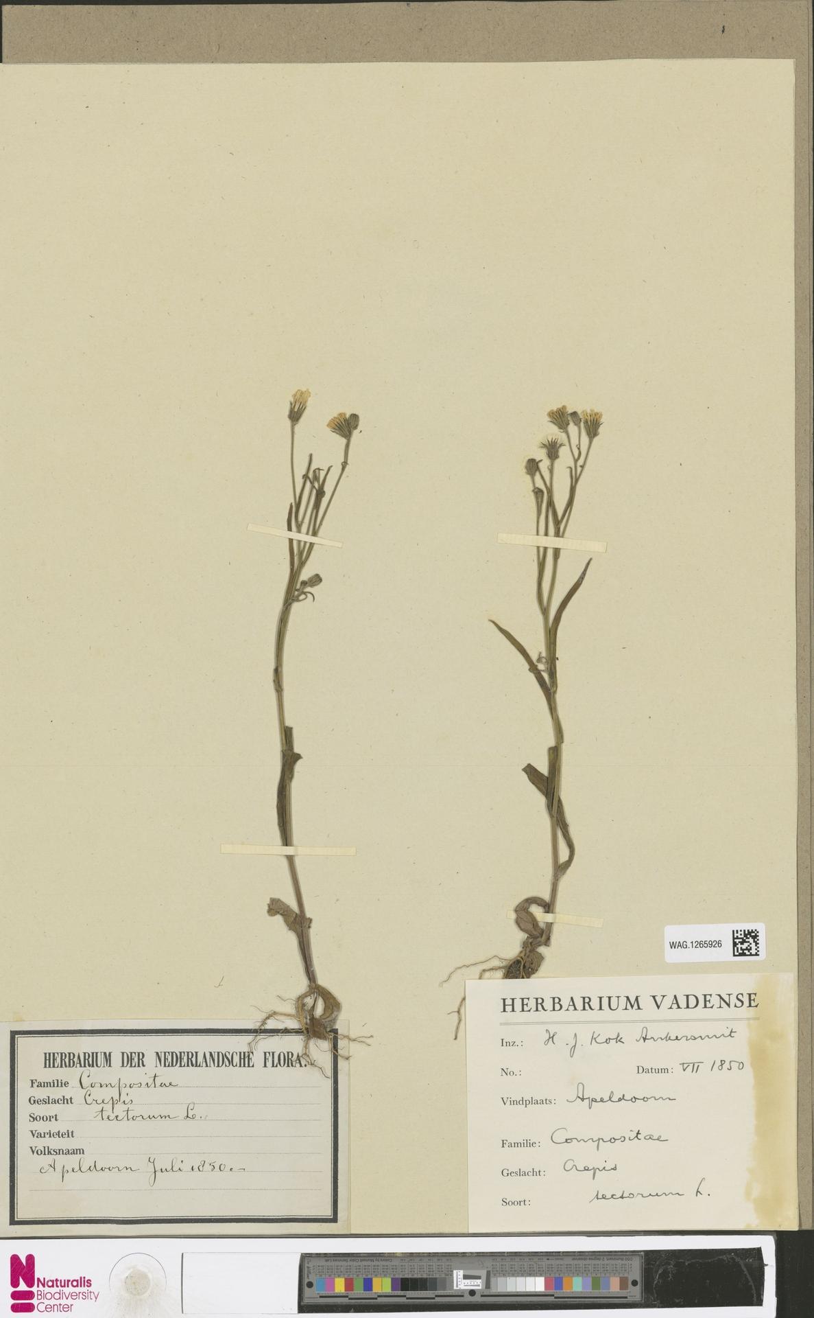 WAG.1265926 | Crepis tectorum L.
