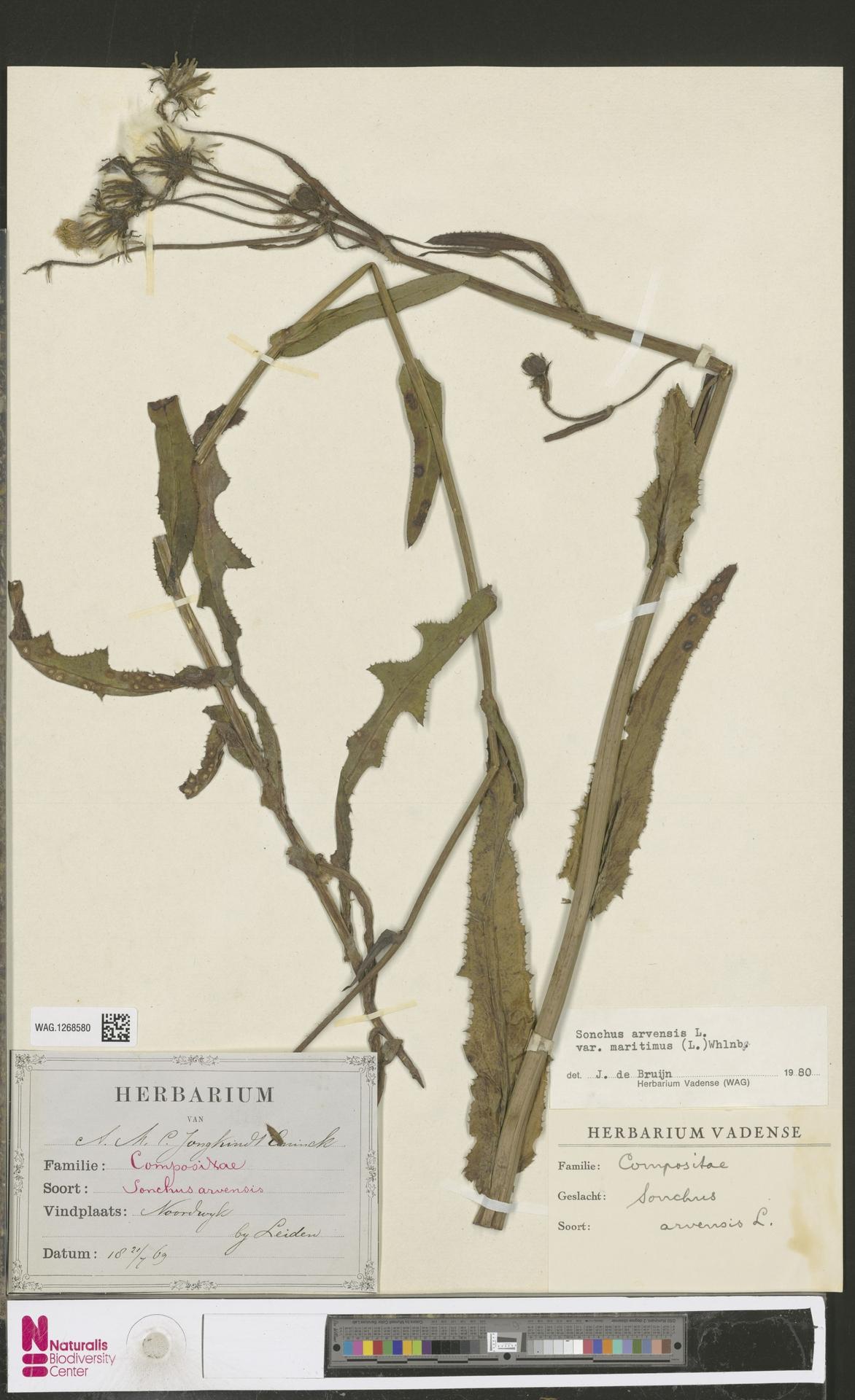 WAG.1268580 | Sonchus arvensis var. maritimus G.Mey.