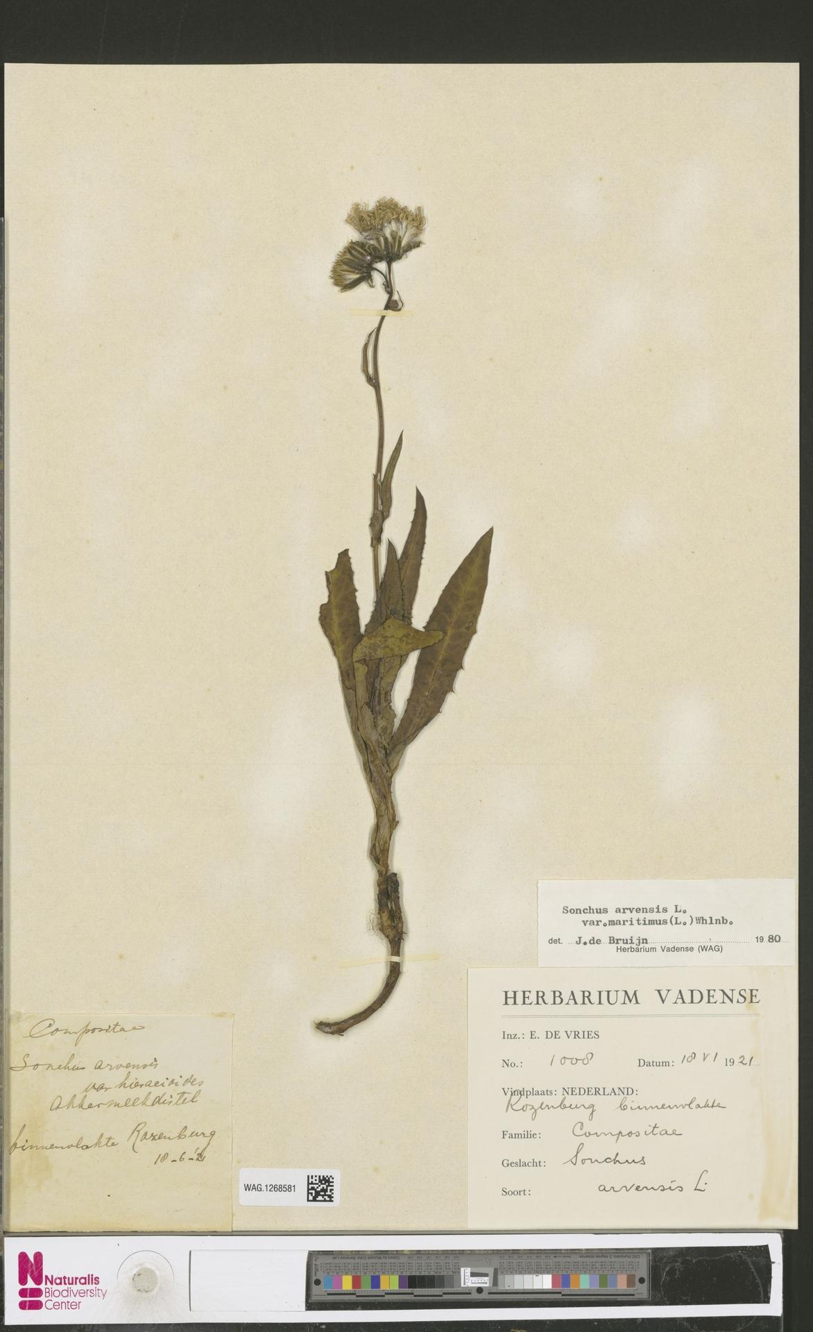 WAG.1268581 | Sonchus arvensis var. maritimus G.Mey.