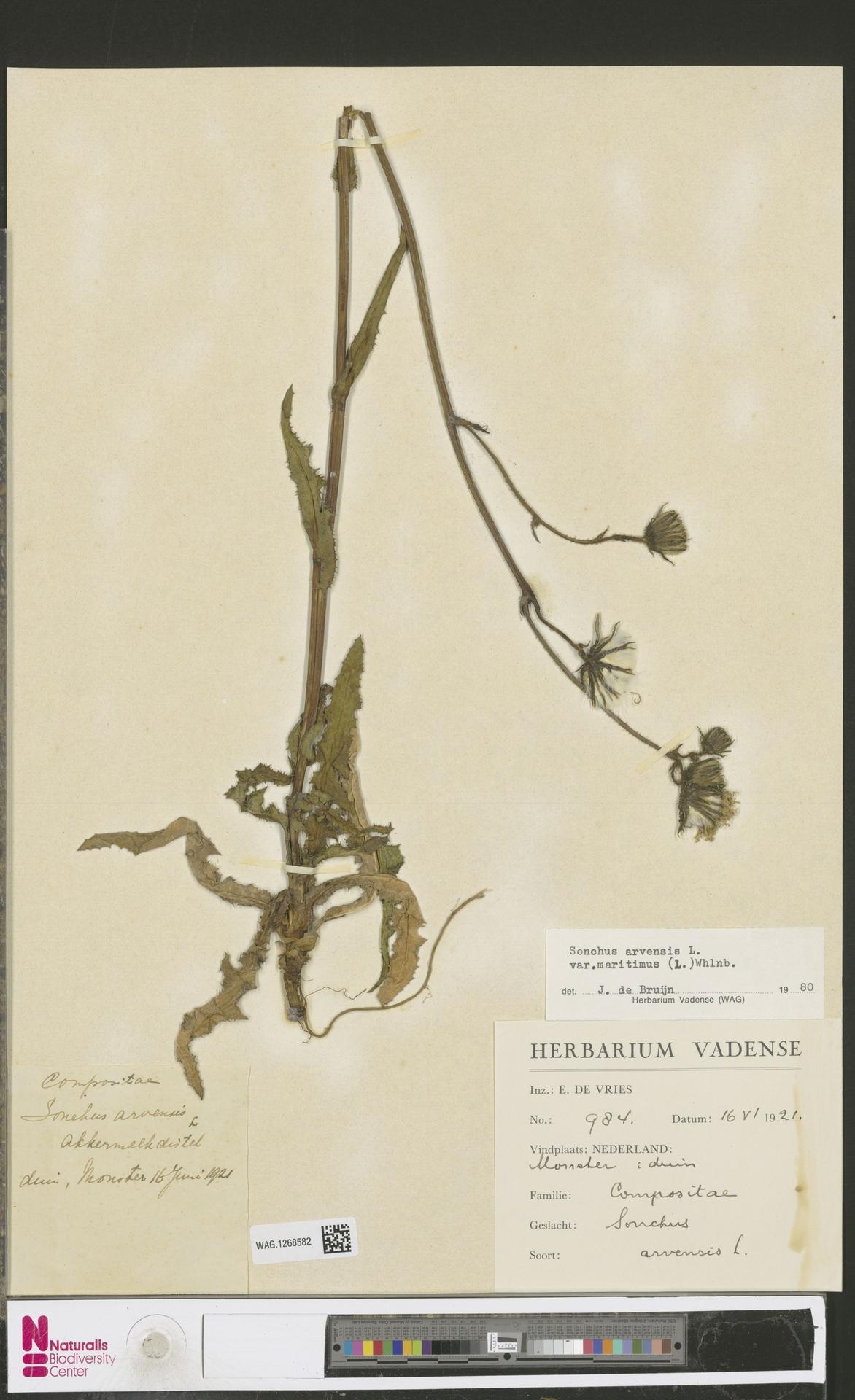 WAG.1268582 | Sonchus arvensis var. maritimus G.Mey.