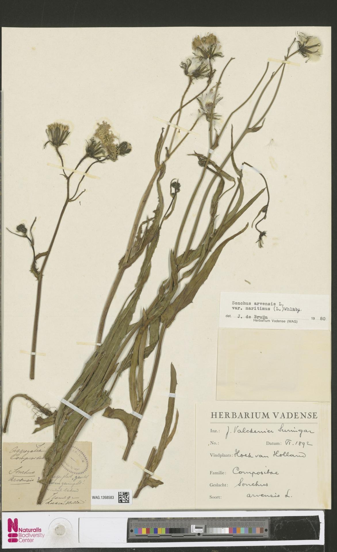 WAG.1268583 | Sonchus arvensis var. maritimus G.Mey.