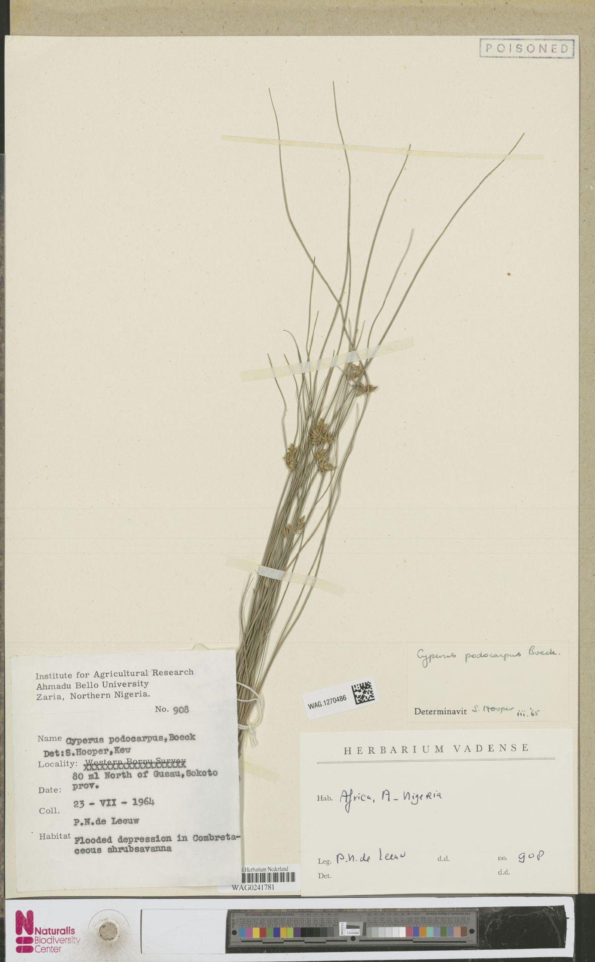 WAG.1270486   Cuscuta epithymum (L.) L.