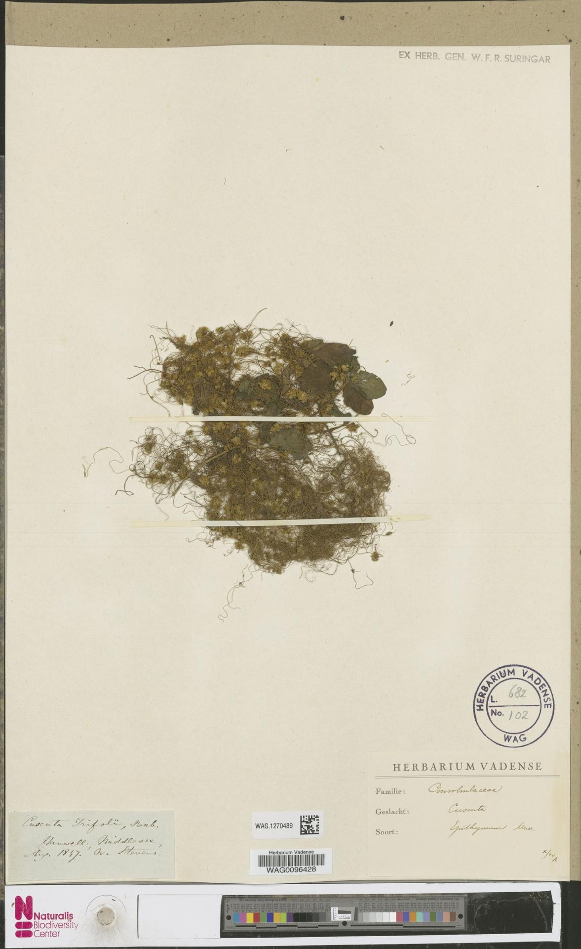 WAG.1270489 | Cuscuta epithymum (L.) L.